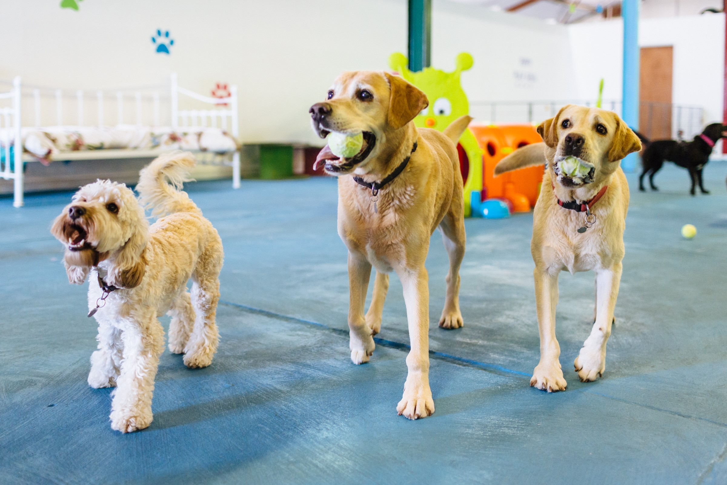 canine creche franchise dogs